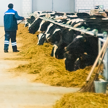 Metabolizable Protein in Dairy Barn